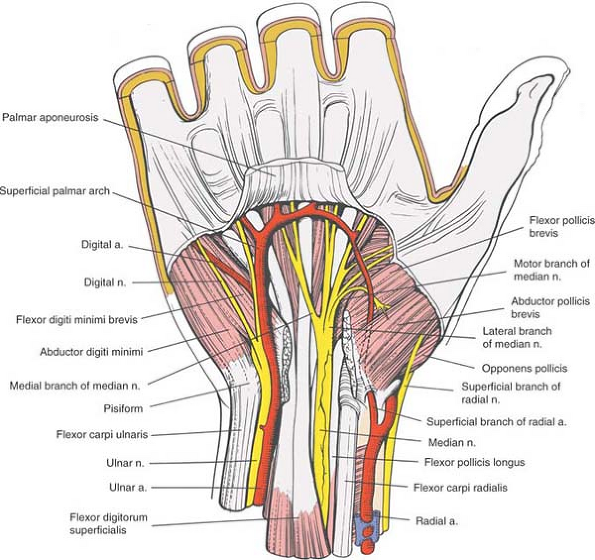The Wrist and Hand | Musculoskeletal Key