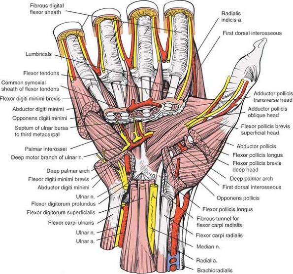 The Wrist And Hand Musculoskeletal Key