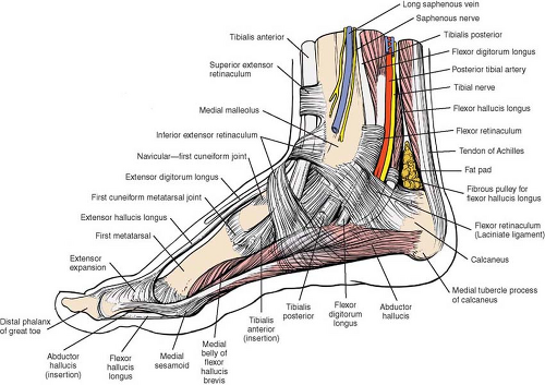 Applied Surgical Anatomy of the Approaches to the Ankle ...