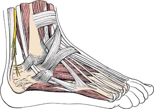 Applied Surgical Anatomy Of The Approaches To The Ankle