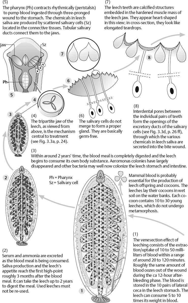 The Biochemistry Of Leech Saliva Musculoskeletal Key