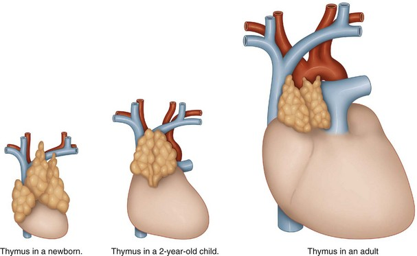 The thymus | Musculoskeletal Key