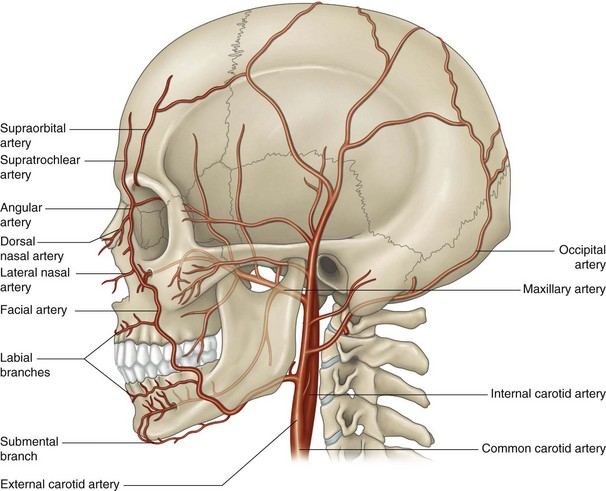 The facial artery | Musculoskeletal Key