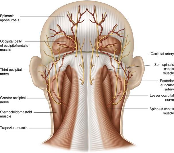 The occipital artery | Musculoskeletal Key
