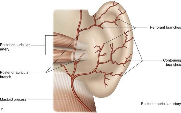 The Posterior Auricular Artery Musculoskeletal Key