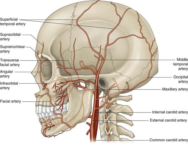 The maxillary artery | Musculoskeletal Key