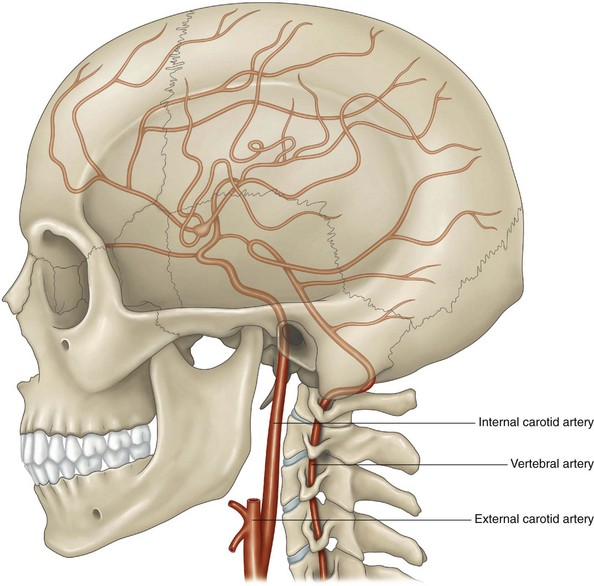 The Internal Carotid Artery And Its Branches Musculoskeletal Key