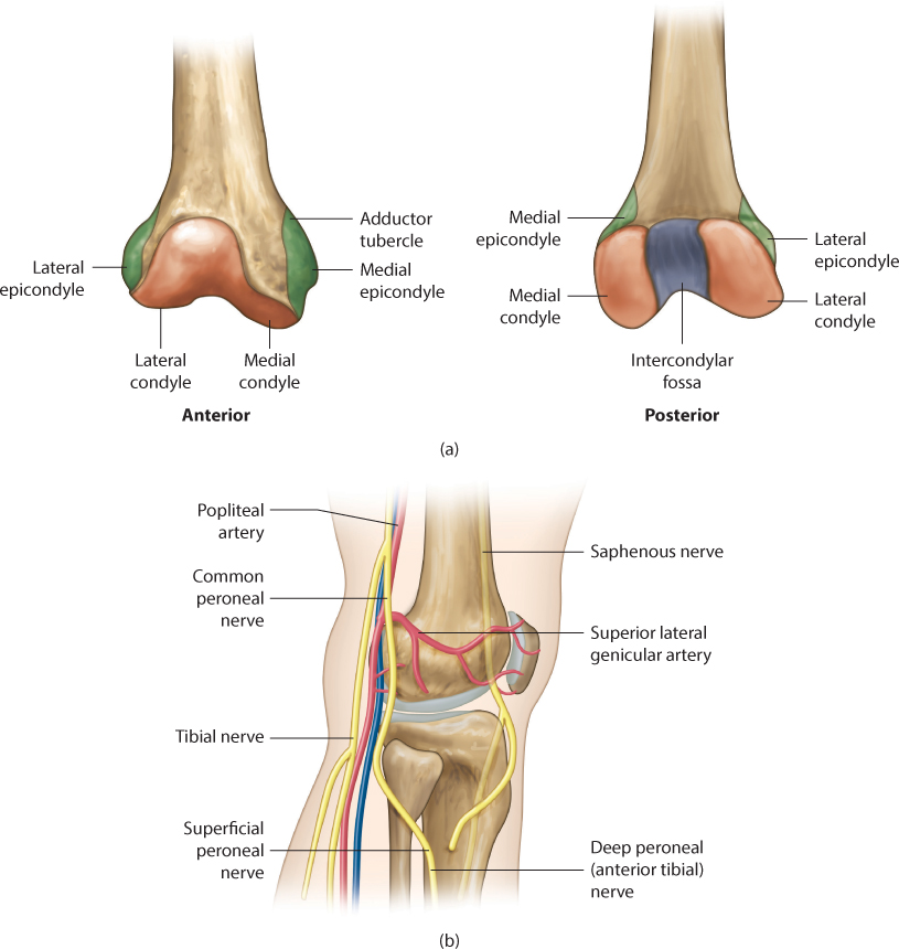 Distal femoral fractures | Musculoskeletal Key