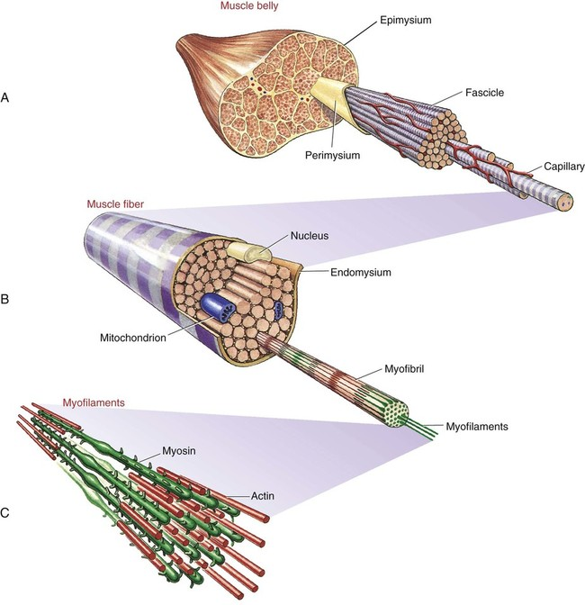 Structure and Function of Skeletal Muscle | Musculoskeletal Key