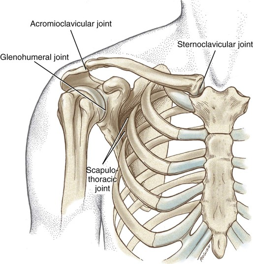 Structure and Function of the Shoulder Complex | Musculoskeletal Key