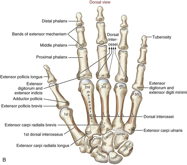 Structure And Function Of The Hand Musculoskeletal Key