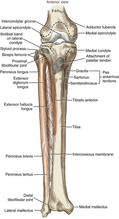 Structure and function of the knee musculoskeletal key image ccuart Gallery