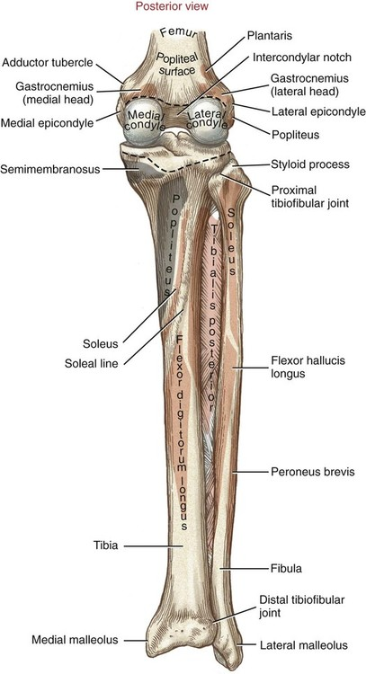 Structure And Function Of The Knee