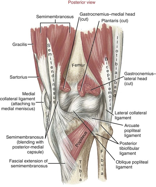 Structure And Function Of The Knee Musculoskeletal Key