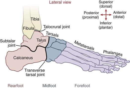 Structure And Function Of The Ankle And Foot Musculoskeletal Key