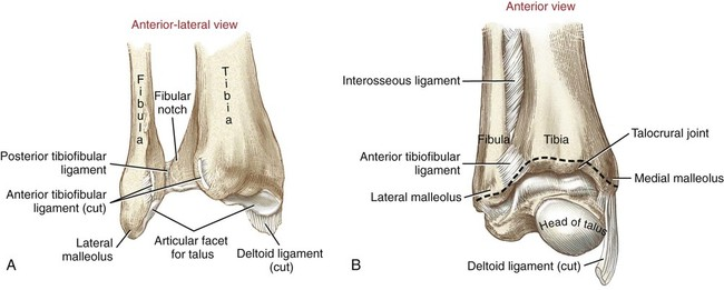 Structure and Function of the Ankle and Foot | Musculoskeletal Key