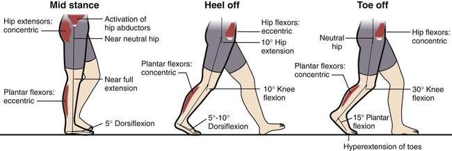 Fundamentals of Human Gait   Musculoskeletal Key