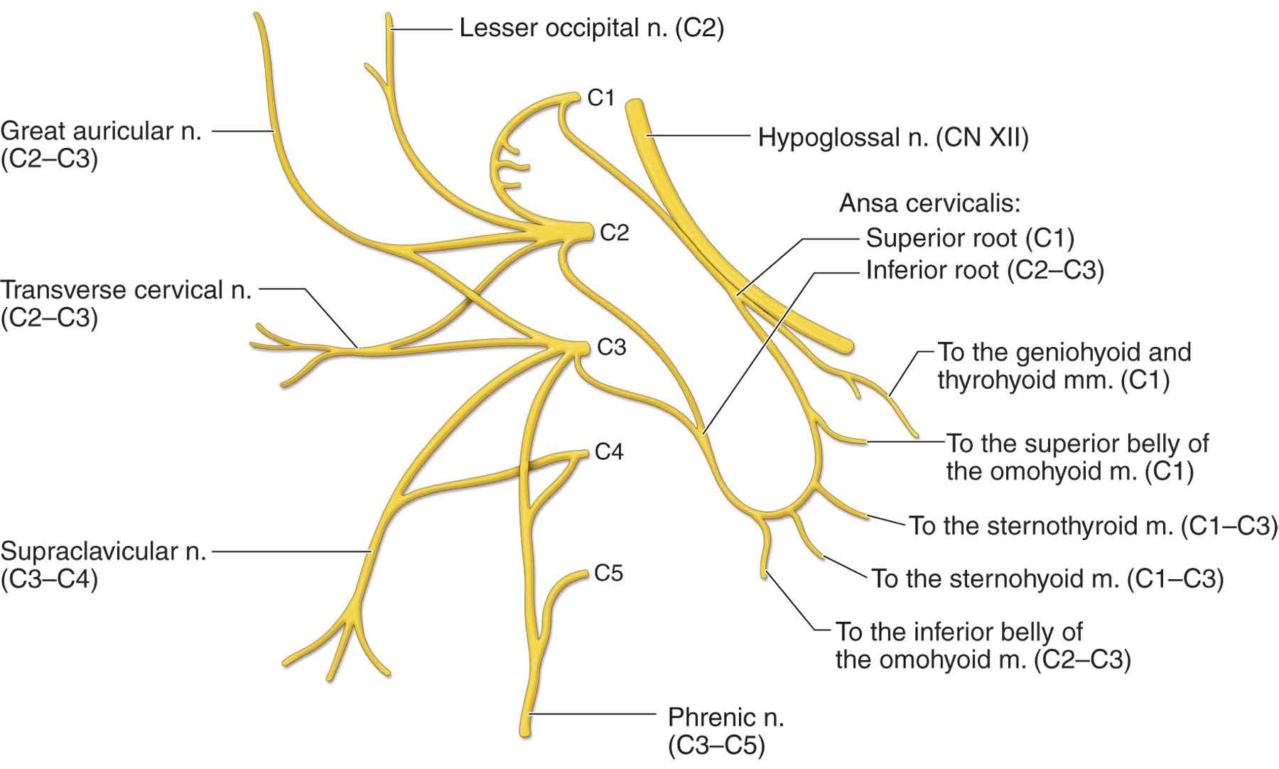 The Nervous System Musculoskeletal Key