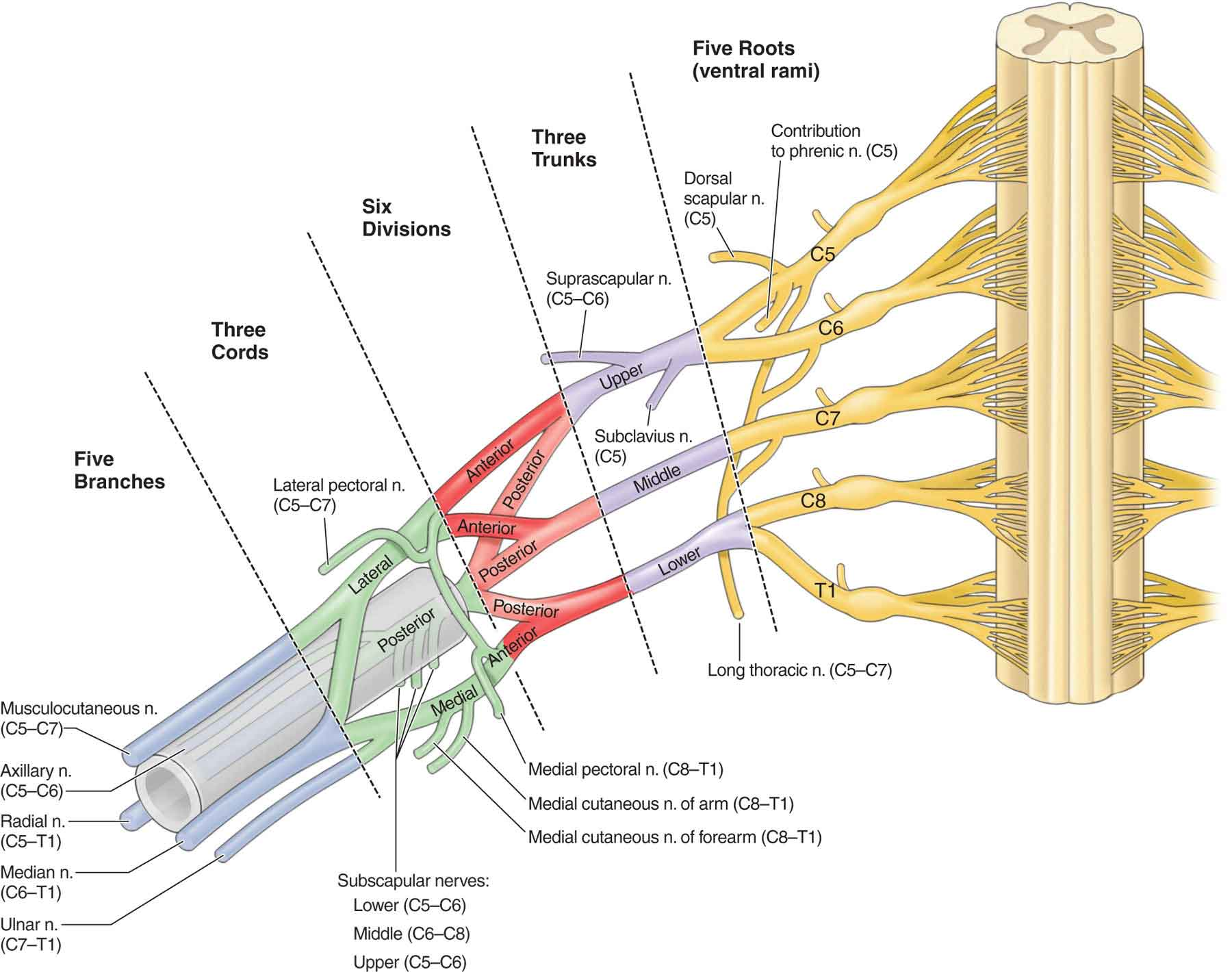 The nervous system musculoskeletal key img pooptronica