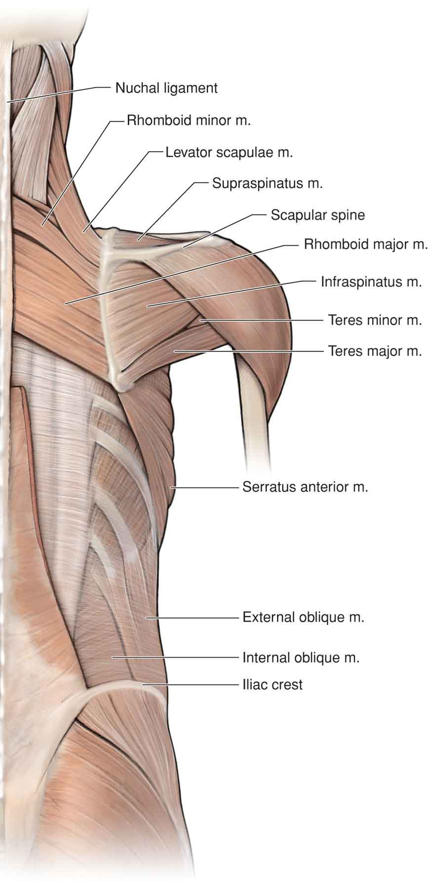 The Shoulder | Musculoskeletal Key