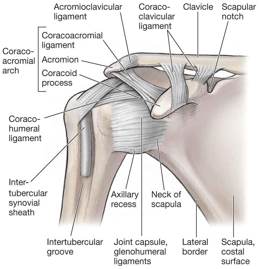 The Shoulder | Musculoskeletal Key