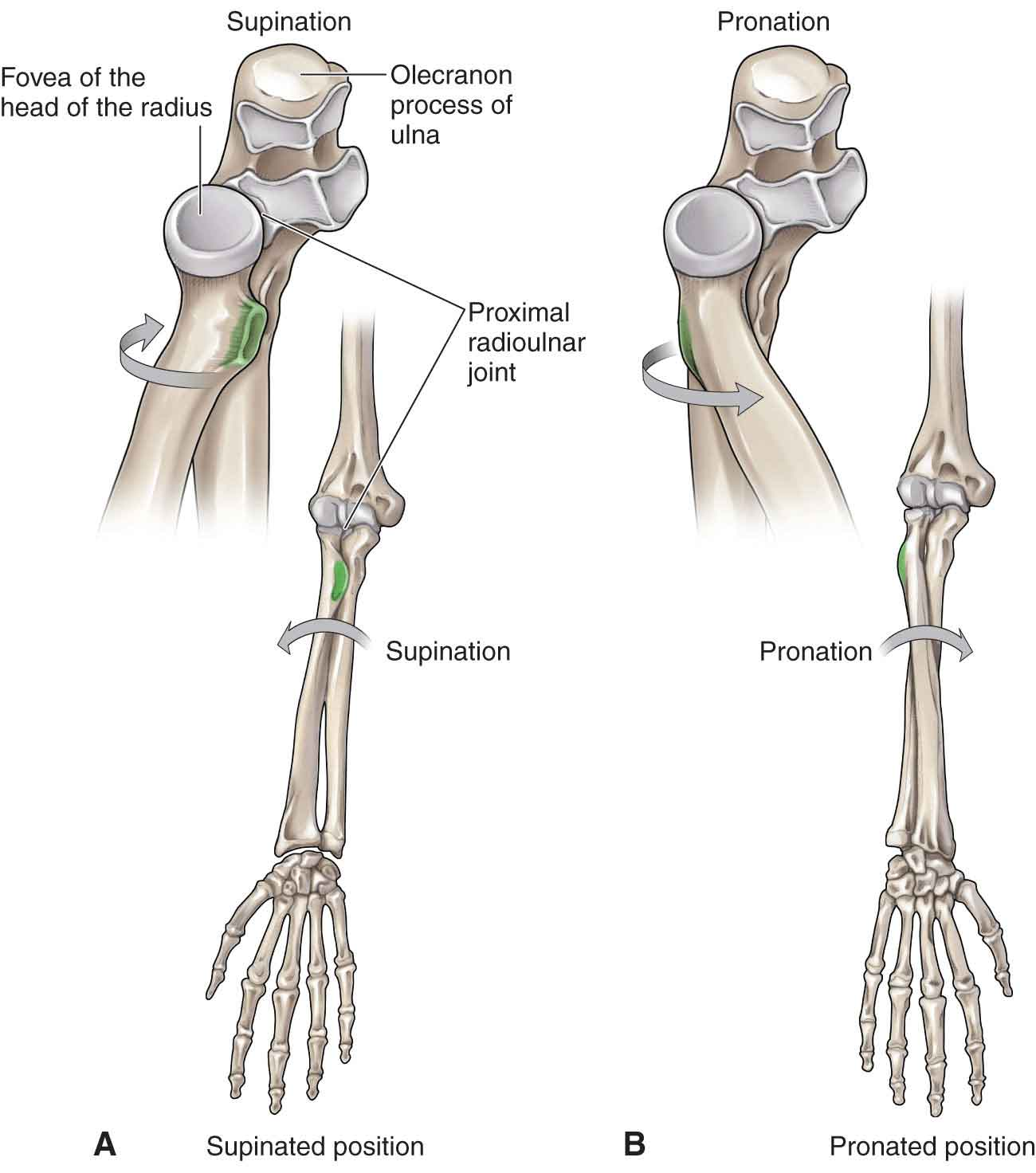 Elbow Musculoskeletal Key