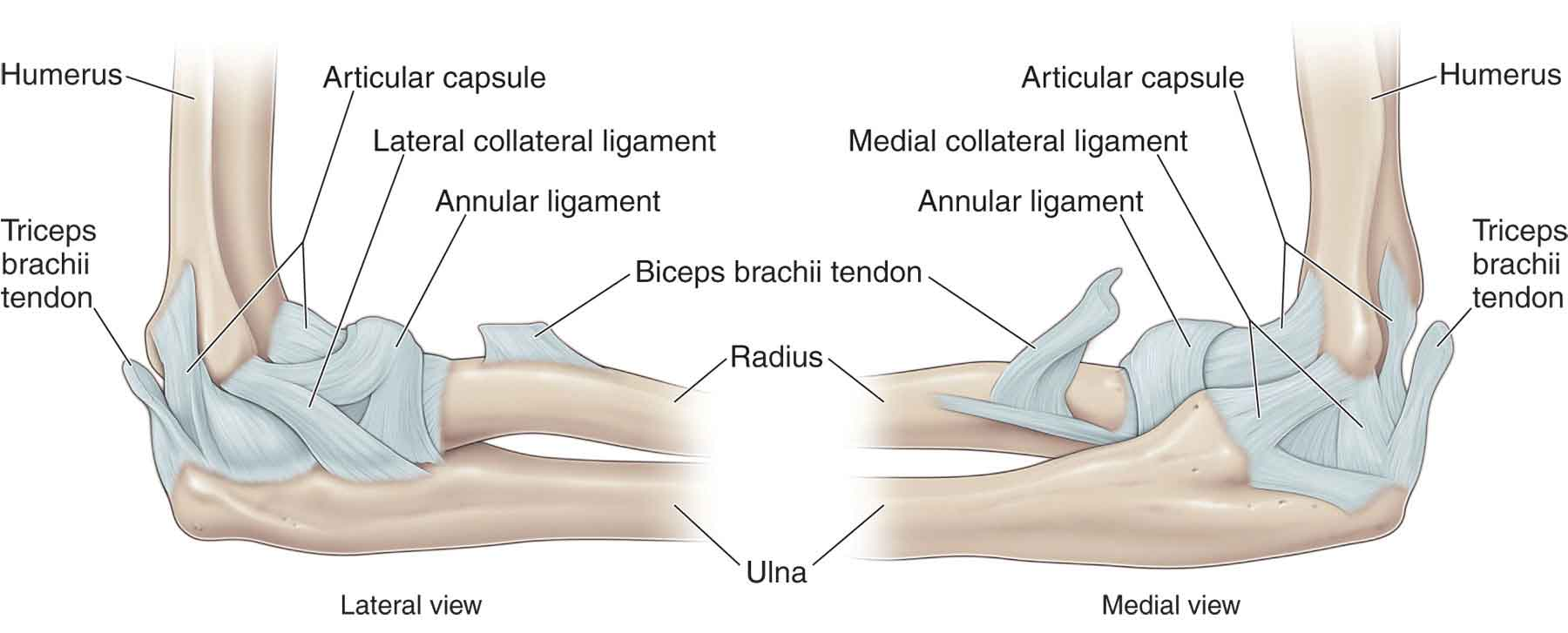 Elbow | Musculoskeletal Key