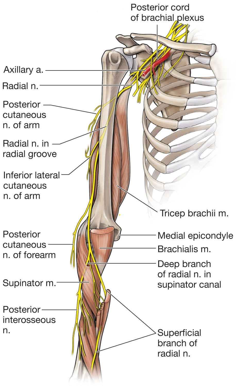 Elbow | Musculoskeletal Key