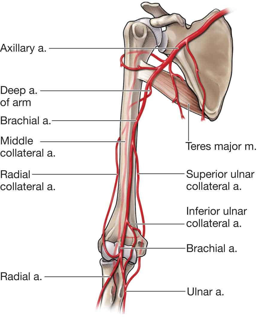 Elbow Musculoskeletal Key