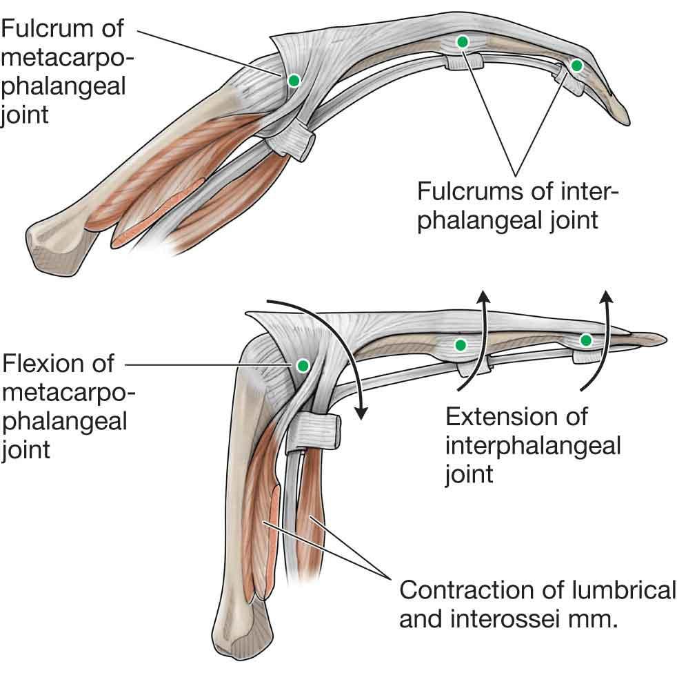 Attractive Finger Tendons Anatomy Embellishment - Human Anatomy ...