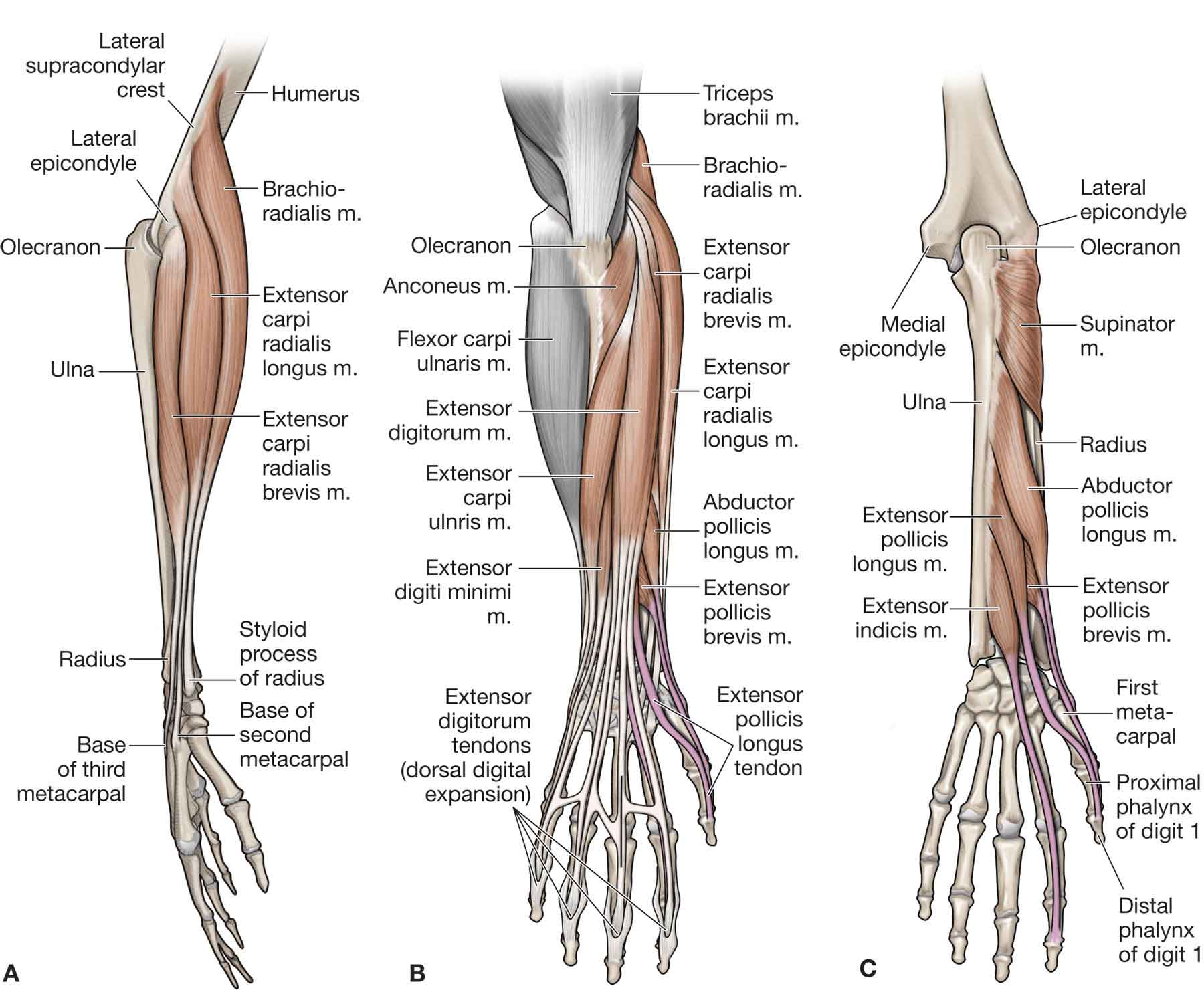 Wrist muscles anatomy