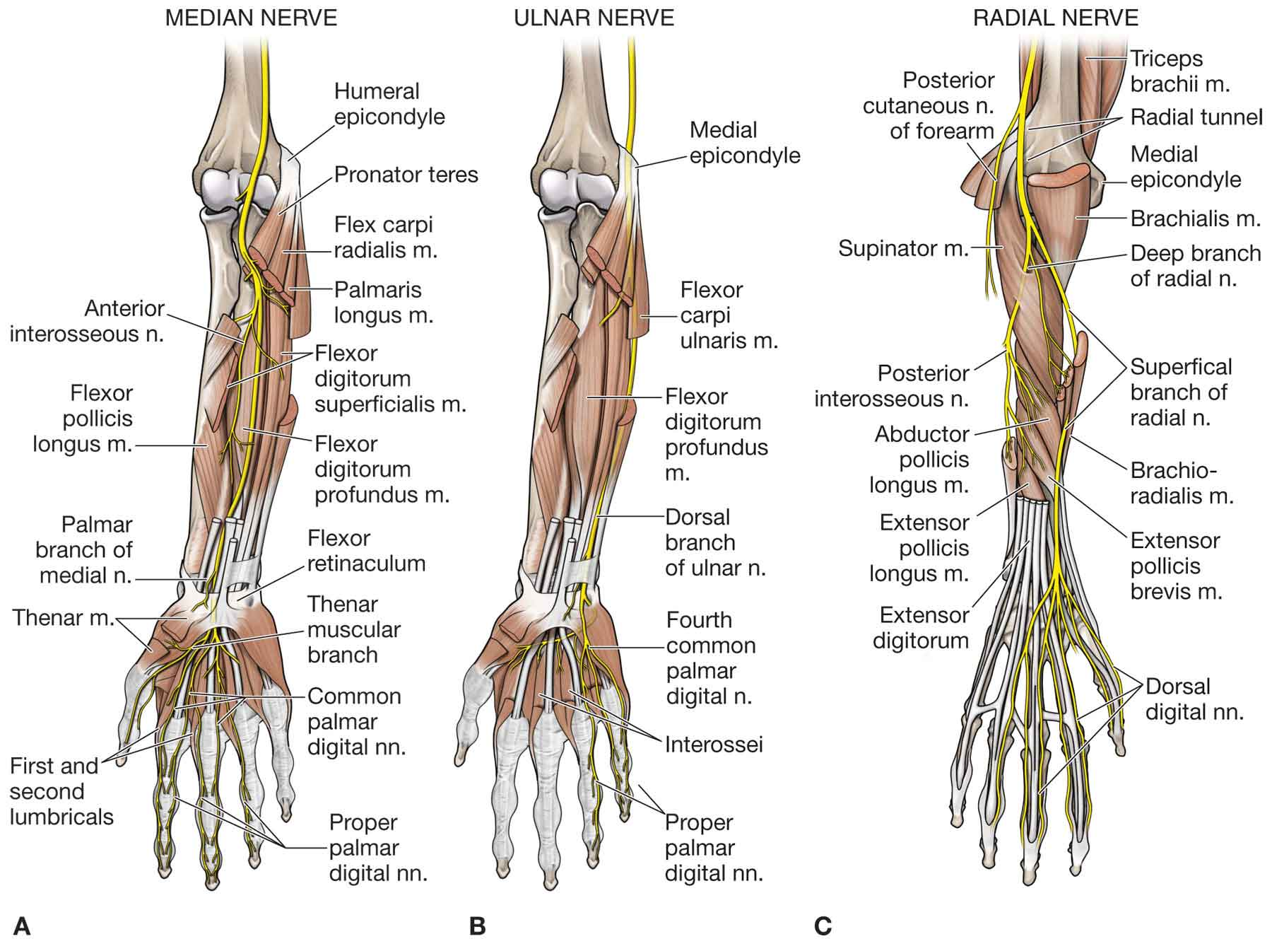 The Forearm Wrist And Hand Musculoskeletal Key