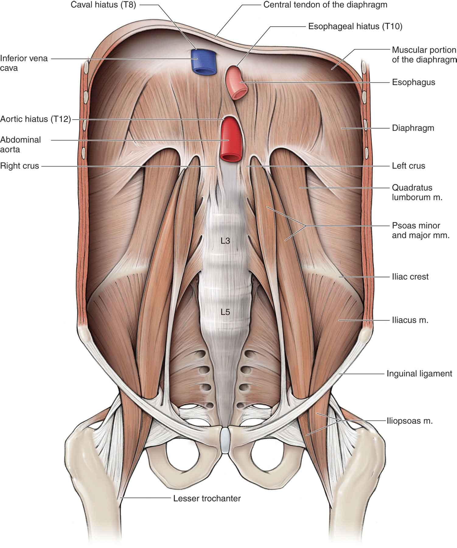 Muscle anatomy of the hip