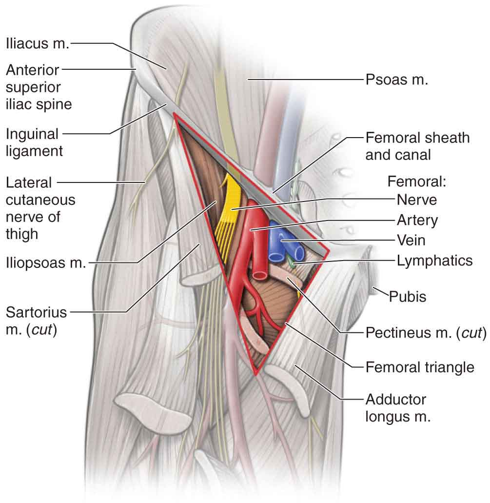 Hip | Musculoskeletal Key