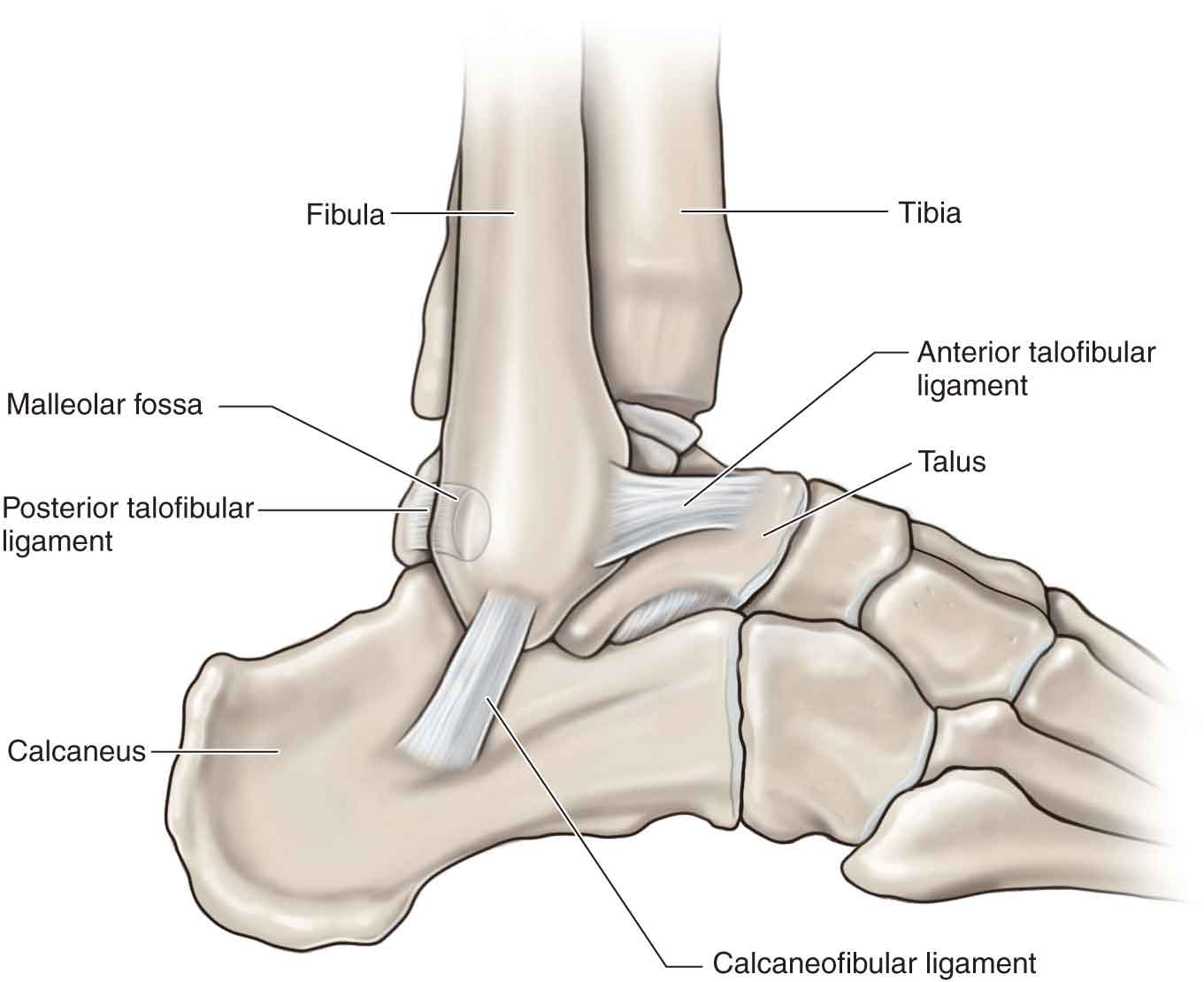 Lower Leg Ankle And Foot Musculoskeletal Key