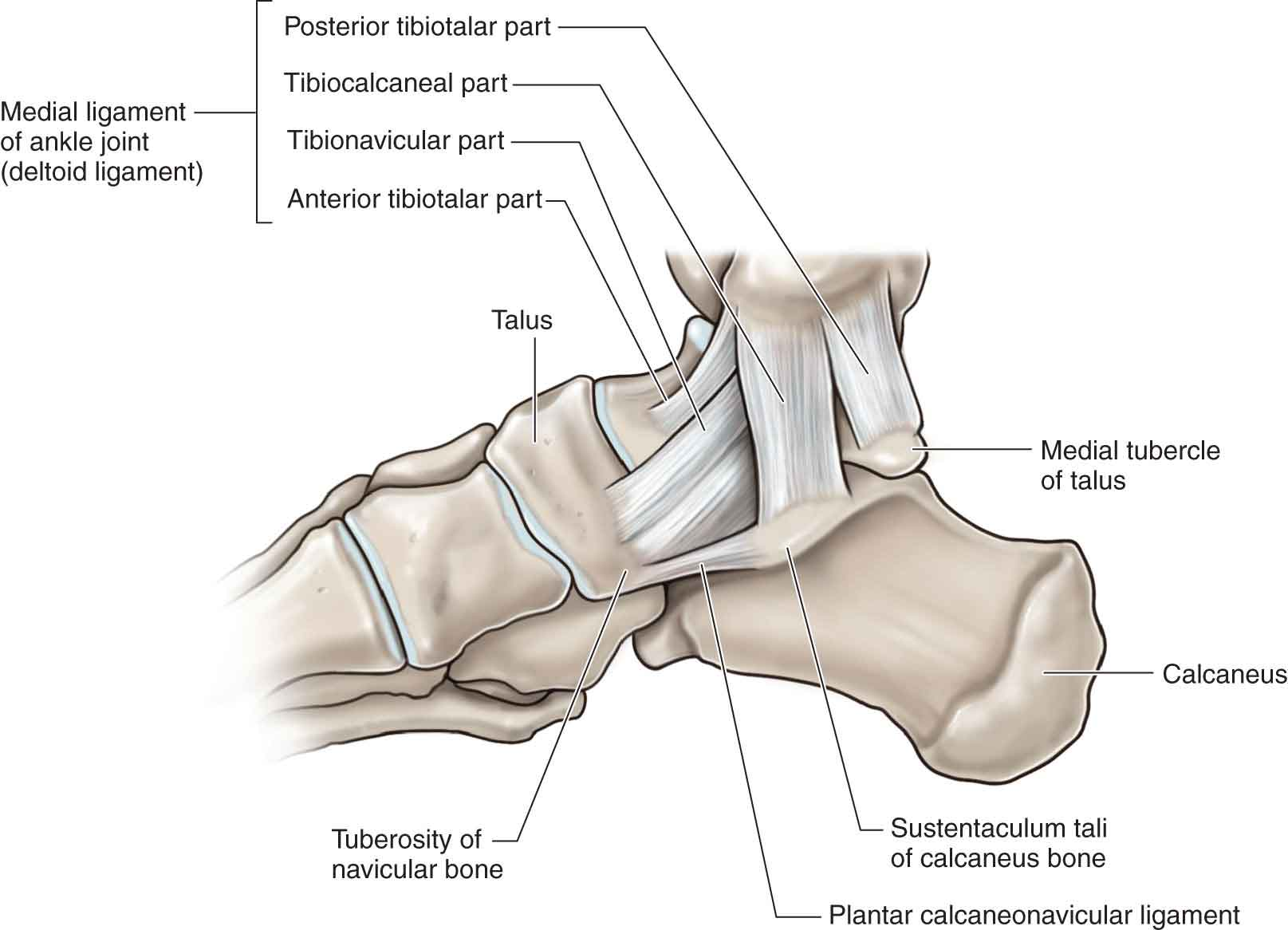 lower leg, ankle, and foot | musculoskeletal key, Human Body