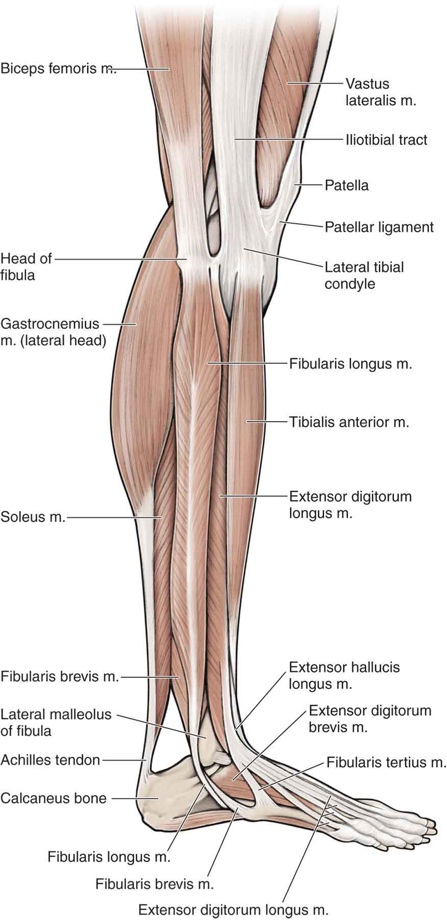 Anatomy of the ankle and lower leg