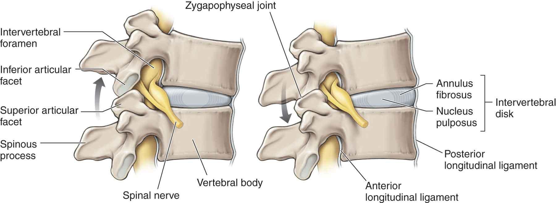 Vertebral Column | Musculoskeletal Key
