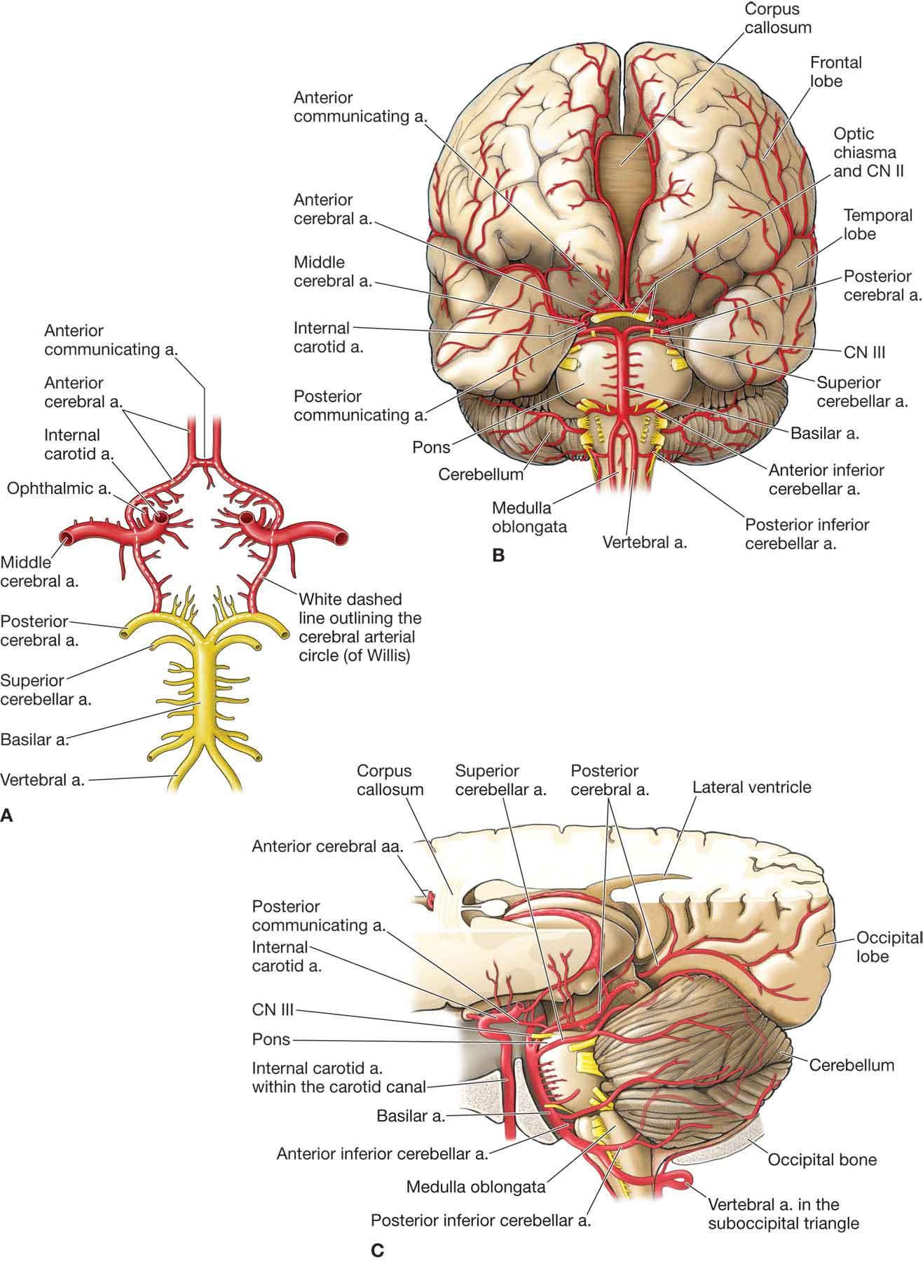 Vertebral Artery Musculoskeletal Key