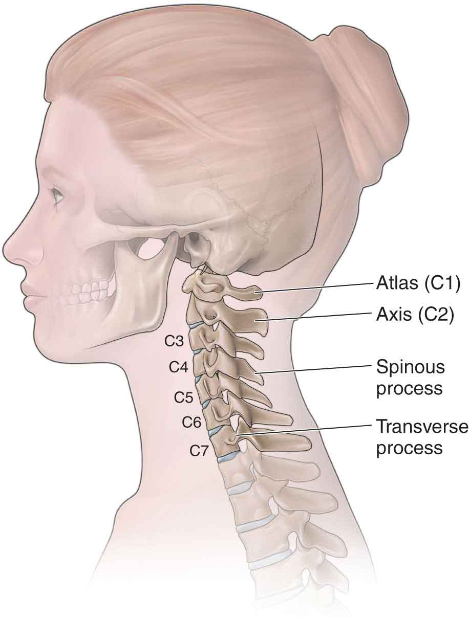 The Cervical Spine Musculoskeletal Key