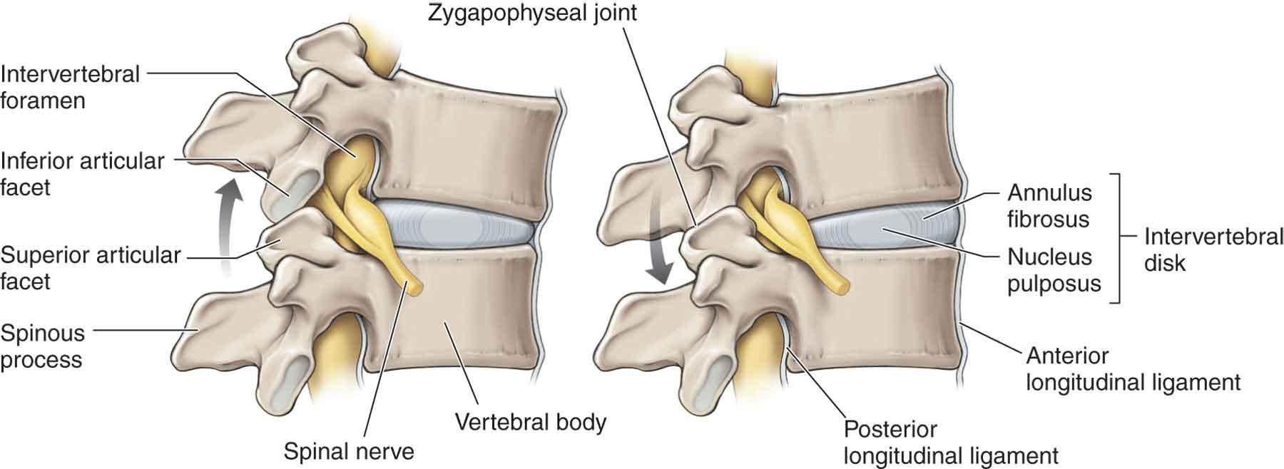 The Cervical Spine | Musculoskeletal Key