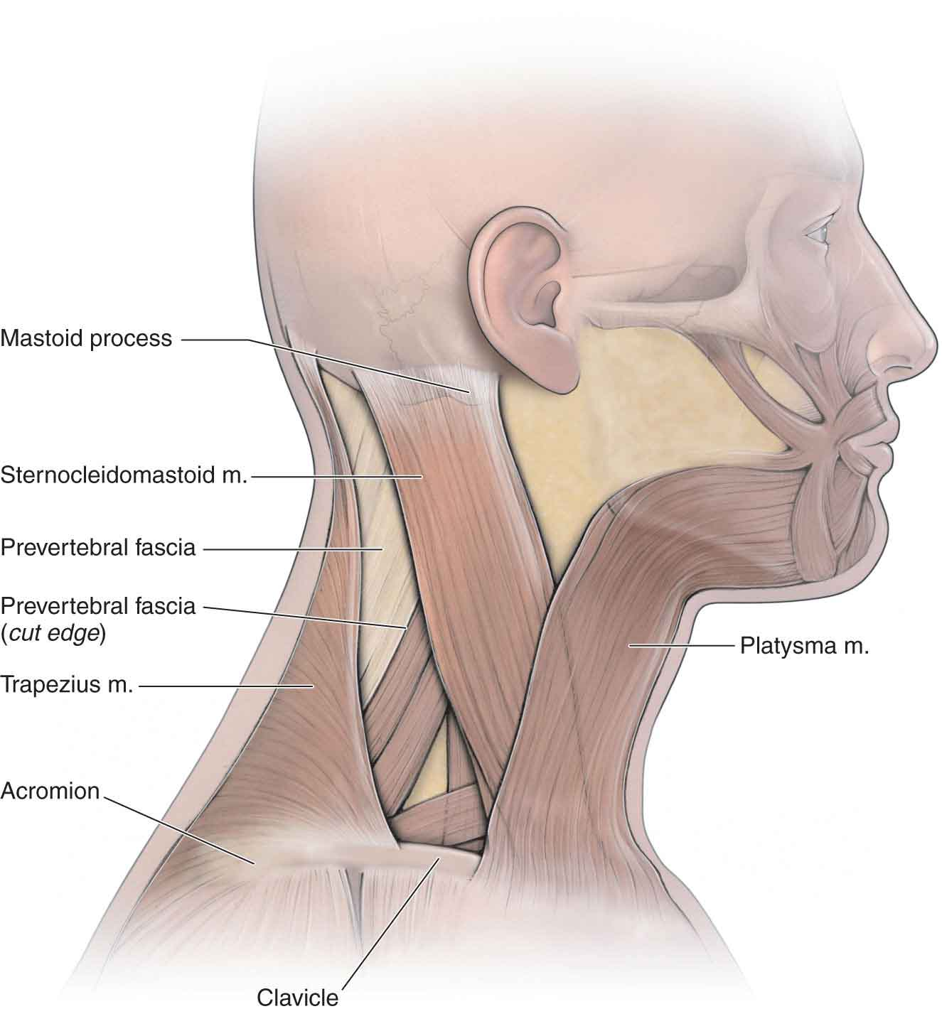The Cervical Spine Musculoskeletal Key