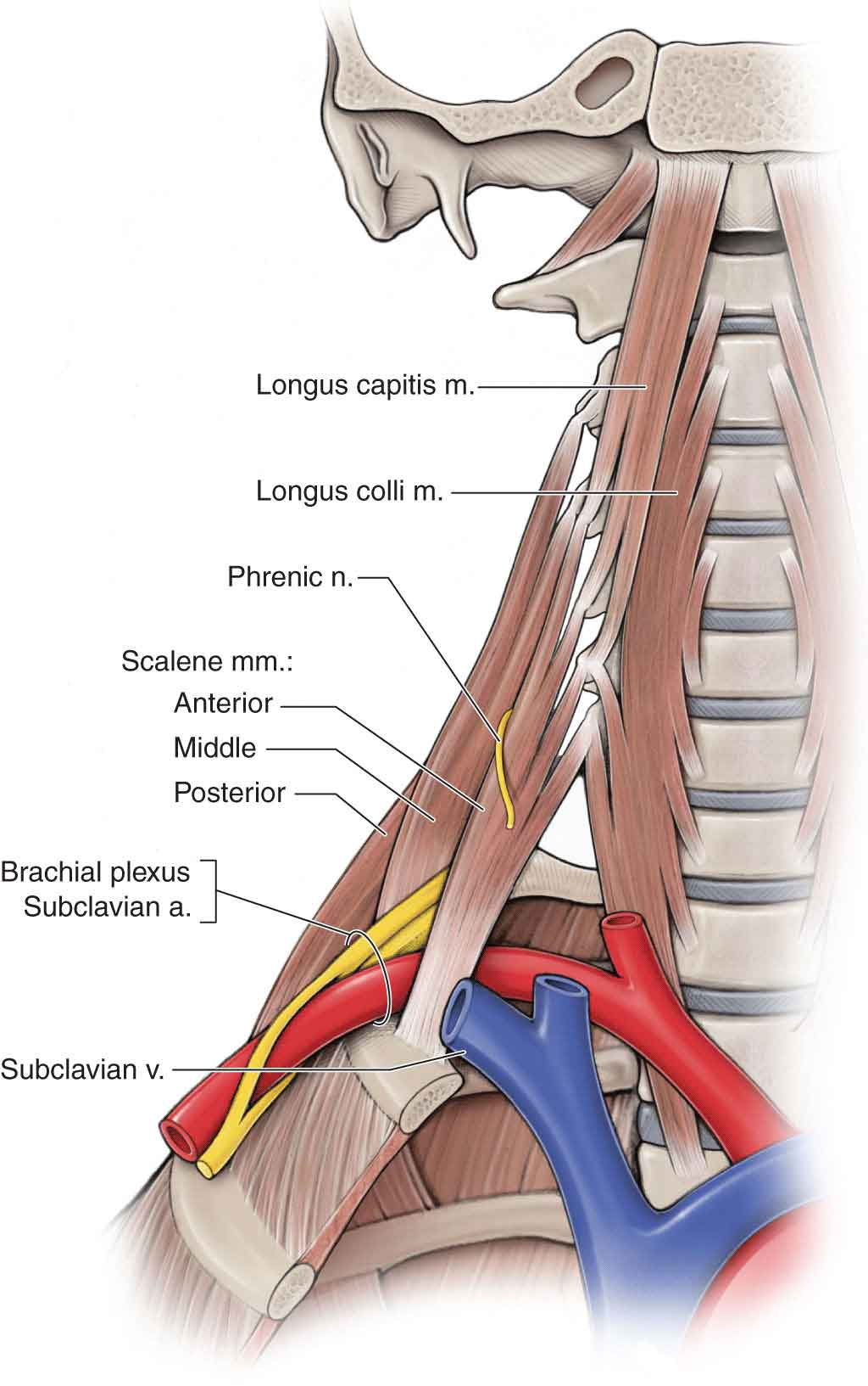The Cervical Spine | Musculoskeletal Key