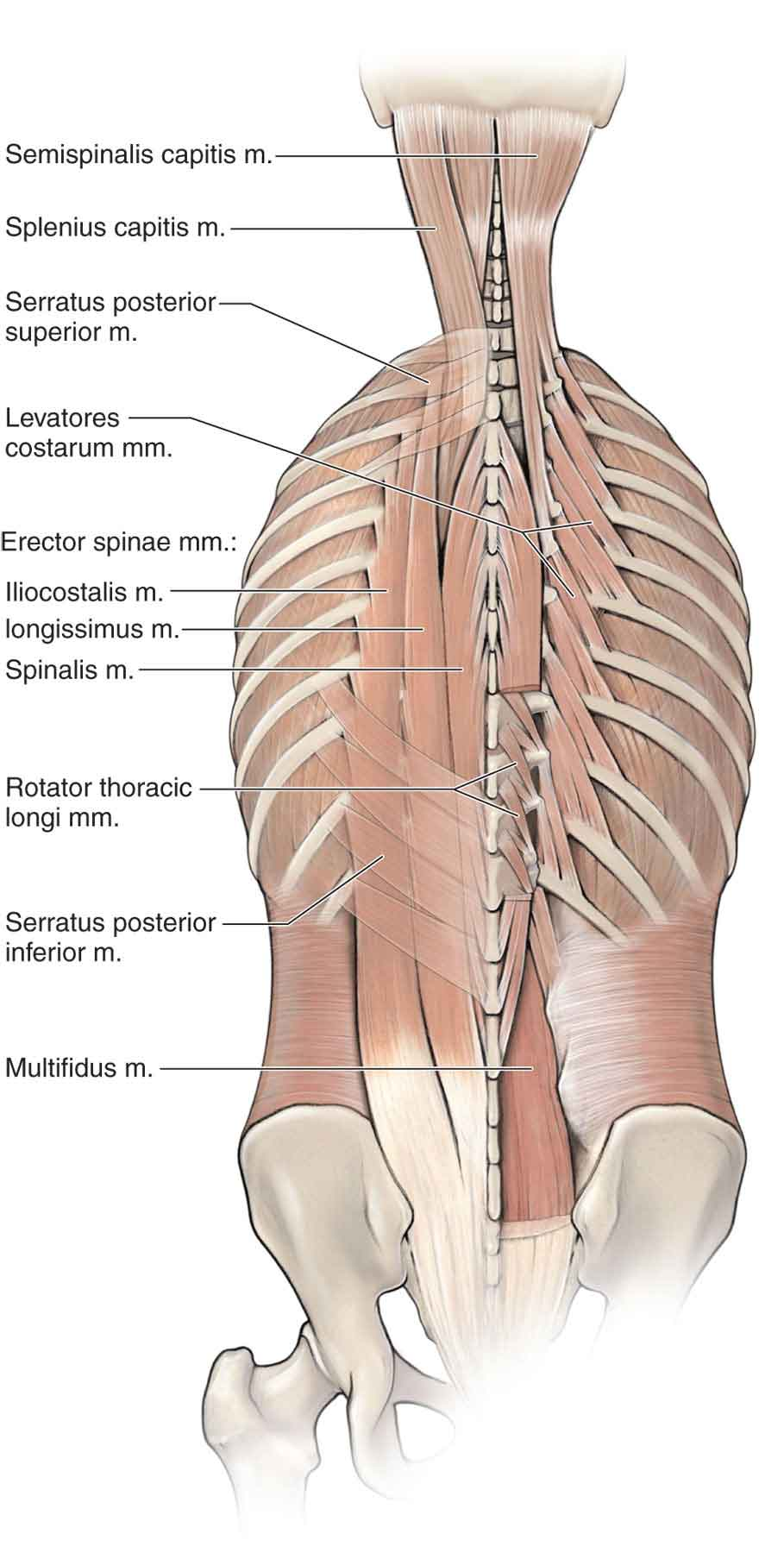 Cervical Muscles Akbaeenw