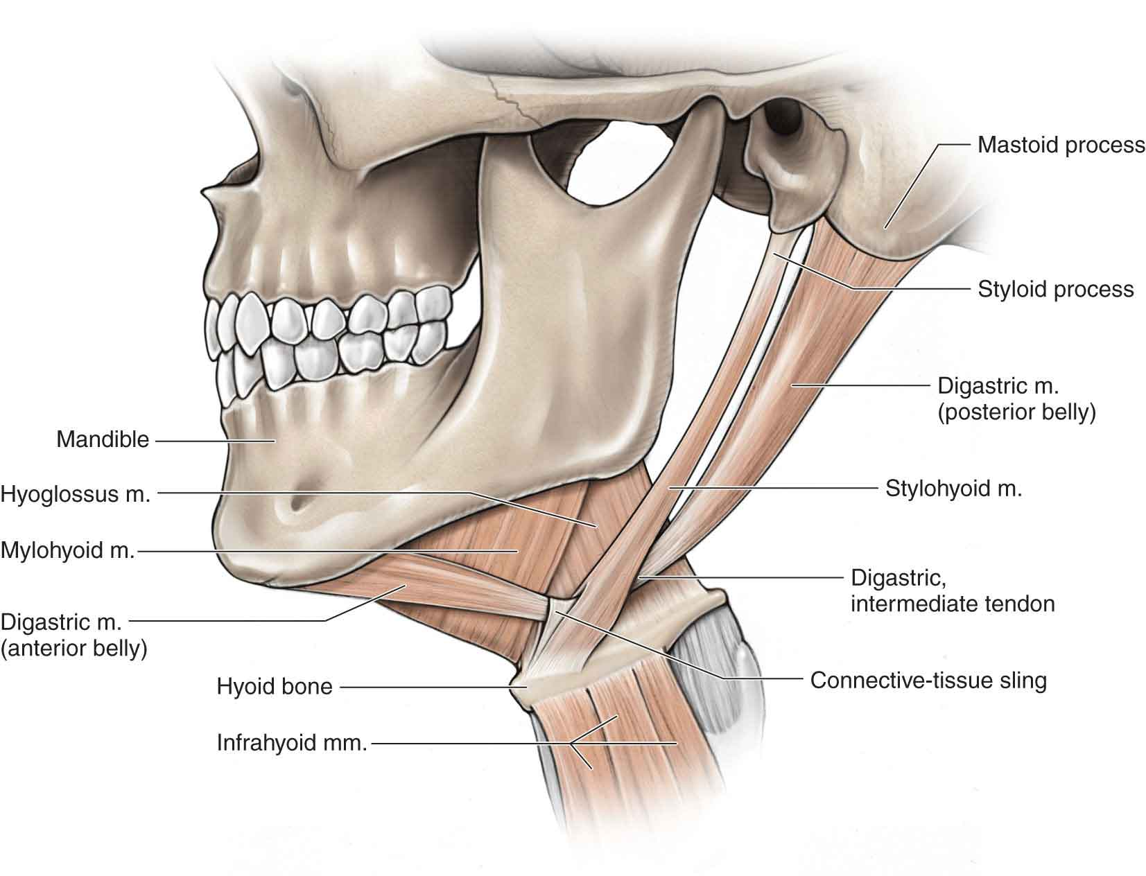 The Temporomandibular Joint | Musculoskeletal Key