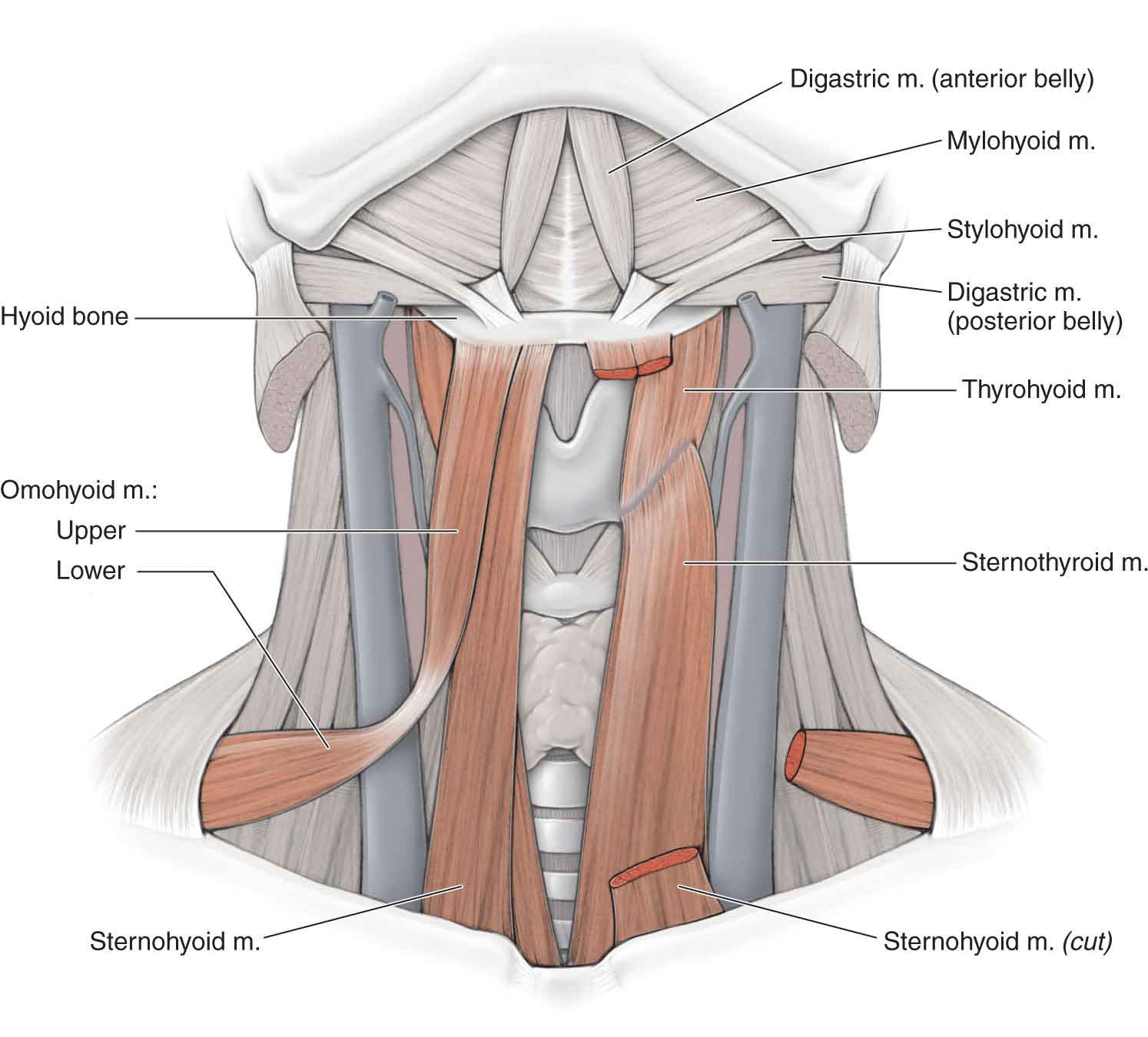 The Temporomandibular Joint | Musculoskeletal Key