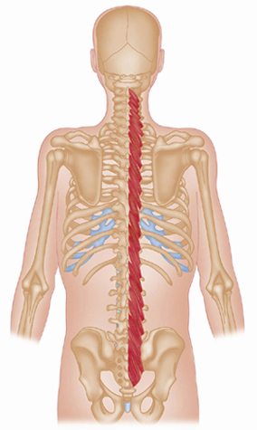 Cervical Spine Muscles Muscles of the Trunk  ...