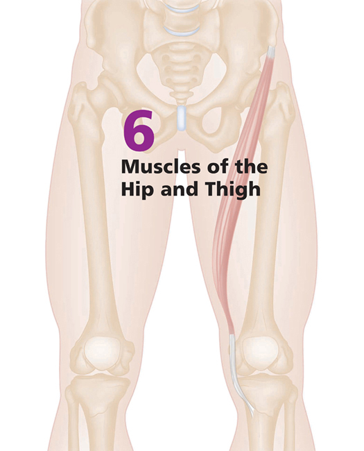Muscles Of The Hip And Thigh Musculoskeletal Key