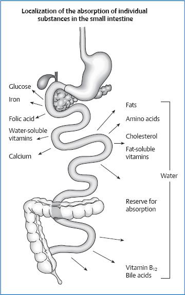 the jejunum and ileum