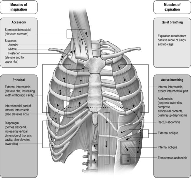 anatomy and physiology of respiratory system Help, support and browser tuneup [skip navigation and go to site search.